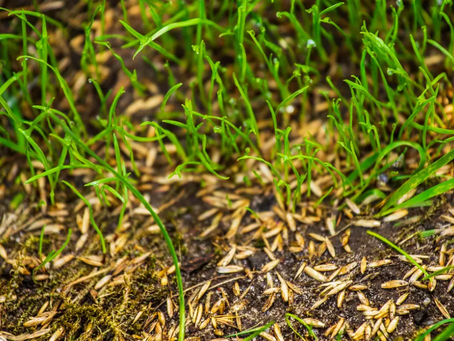 When to overseed your Maryland lawn