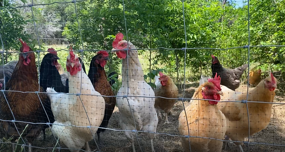 Chickens 1.PNG