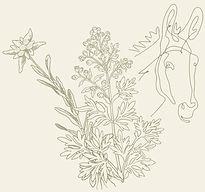 disegno stella genepi asino.jpg