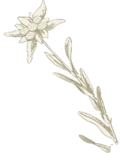 stella alpina scontornata.png