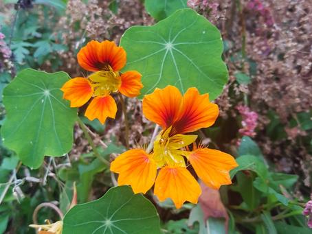 SkarpiHagen: Blomkarse Phoenix med spiselige blomster og blader