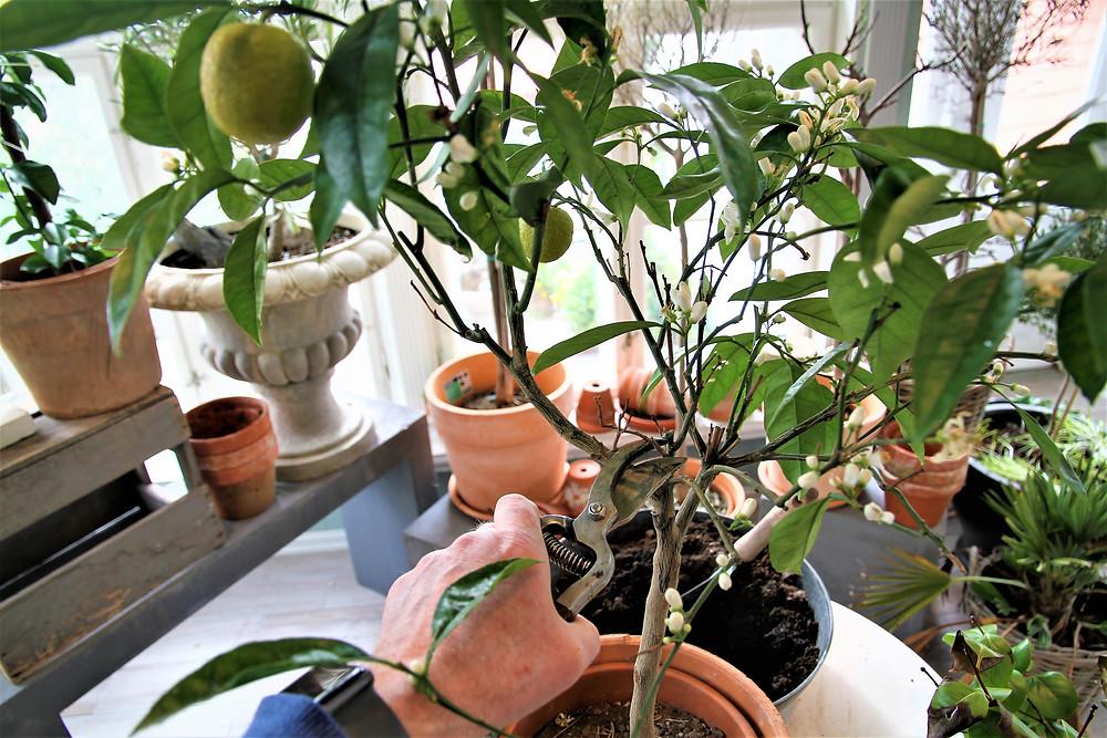 BEDD tips til klipping av sitrus trær