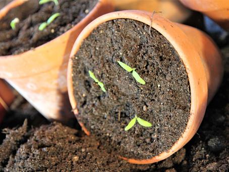 Prikling av spirende planter