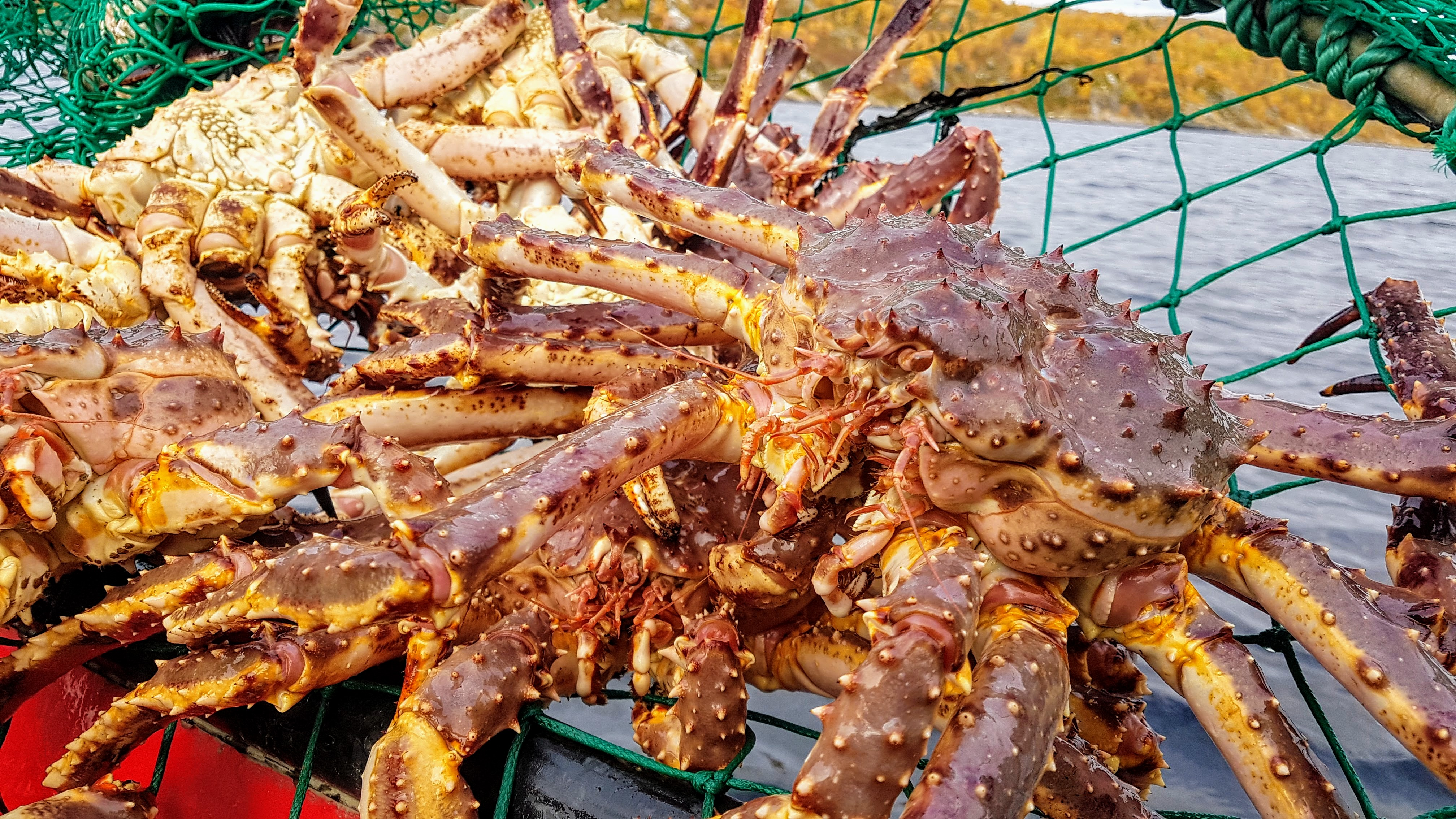 King crabs