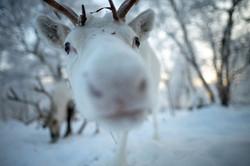 Gabba white reindeer