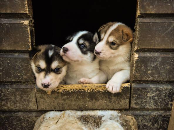 Husky and Puppy Farm