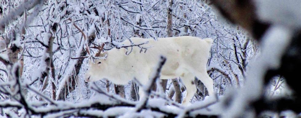 Gabba, white reindeer