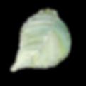 hydragea leaf.png