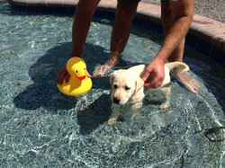 Daisy's first swim with Bruce