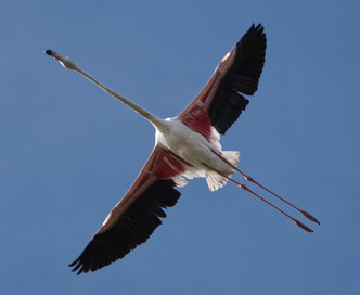 Flamingo Carmargue
