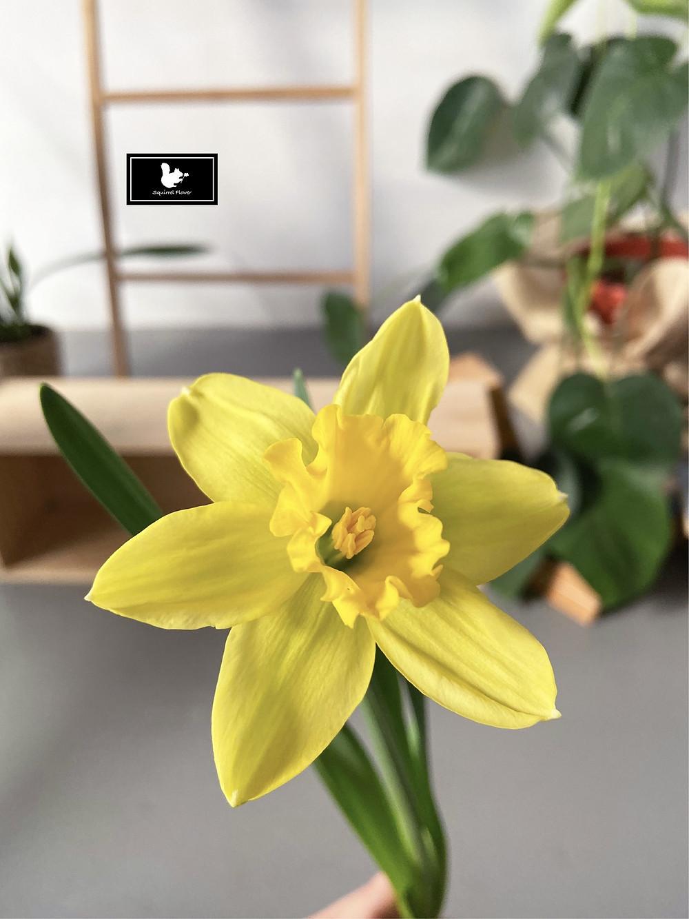 西洋水仙 Narcissus