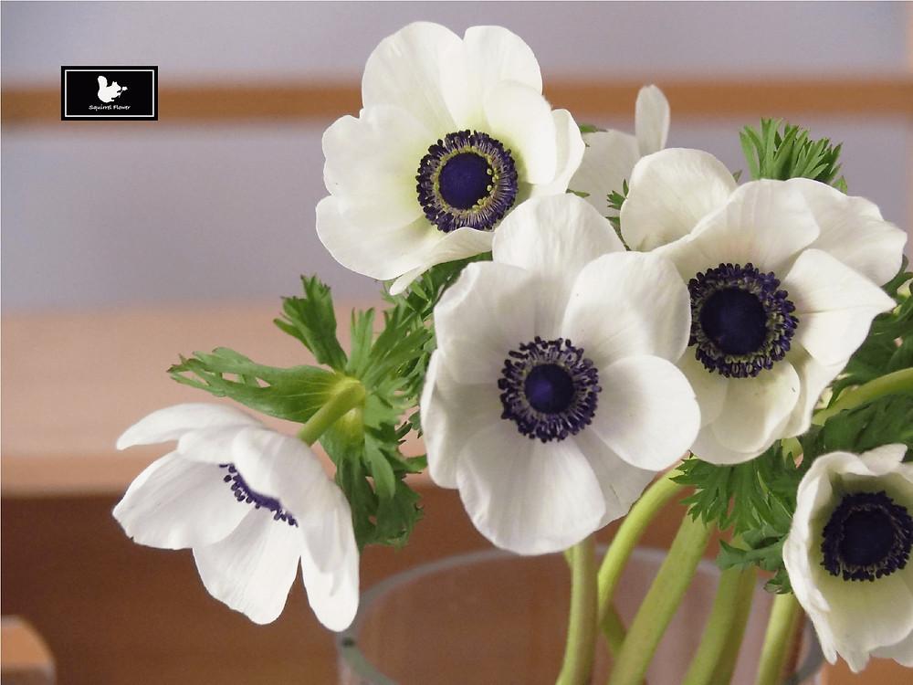 白頭翁 Anemone coronaria