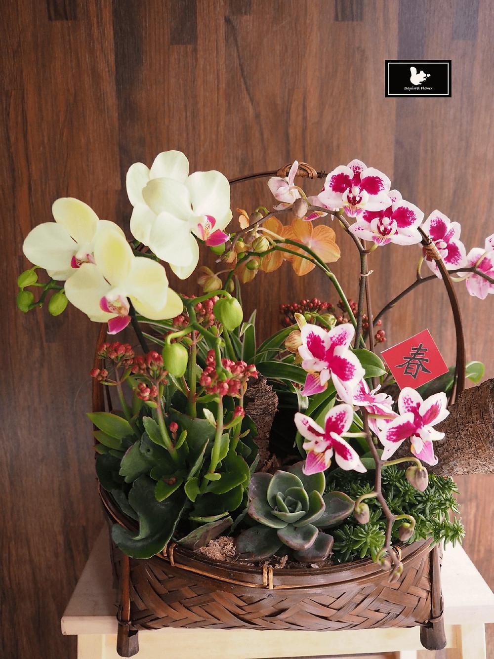 新春蘭花組盆