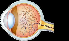 Optic Nerve.png