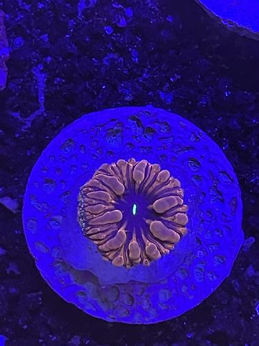 Blastomussa