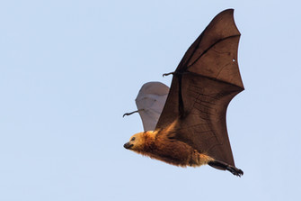 Island Flying Fox Conservation