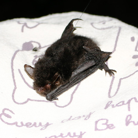 Yanbaru whiskered bat reported from Okinawa after 22 years