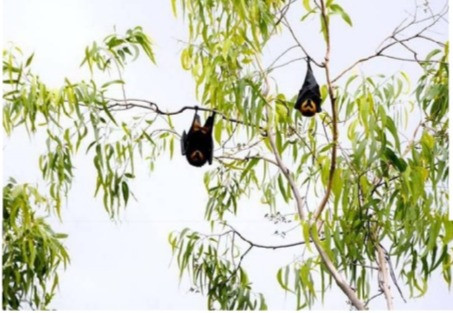 Interview: Restoration actions can promote bat conservation and fruit production