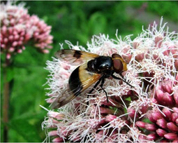 Pale Hoverfly
