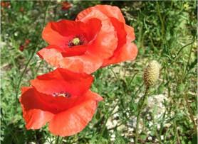 Common Poppies
