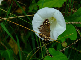 Speckled Wood in Great Bindweed