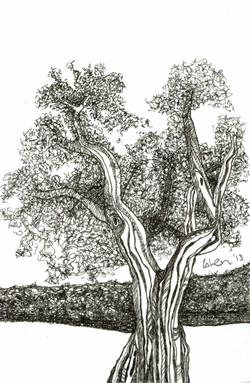Beach Tree - ll - Curacao