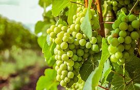 sad-zelen-solntse-kusty-vinograd-listia-