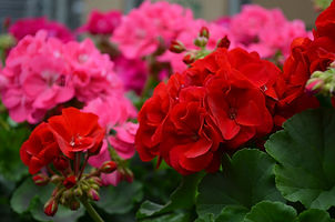 Bloem geranium.jpg