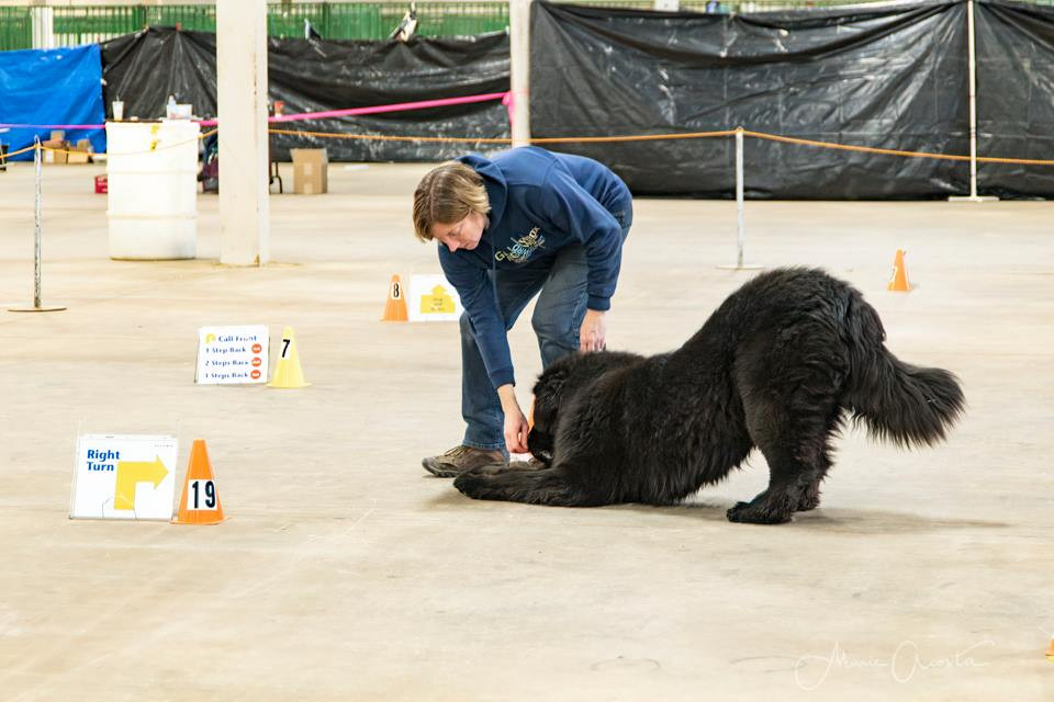 Newfies can even do rally!