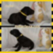 3 wks male yellow-black.jpg