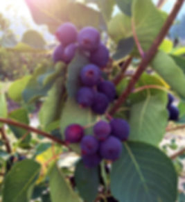Saskatoon Berries on the branch