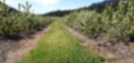 Saskatoon berry rows in bloom