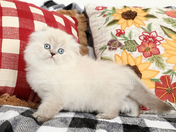 Seal Lynx Tortie Point Lop Eared Himalay