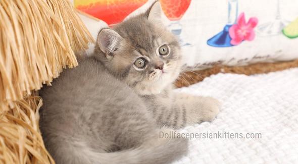 Chinchilla Blue Golden Exotic Shorthair Kitten.jpg