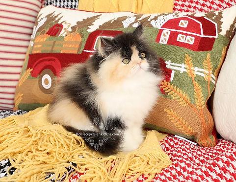 Calico Persian.jpg