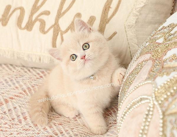 Cream Exotic Shorthair Persian