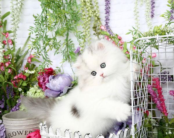 Persian Kitten.jpg