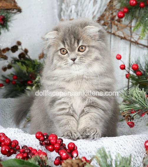 Blue Silver Tabby Lop-Eared Persian Kitt
