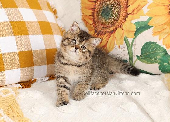 Exotic Shorthair Persian Kitten.jpg