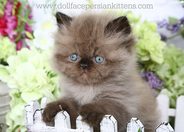 Double Chocolate Point Himalayan