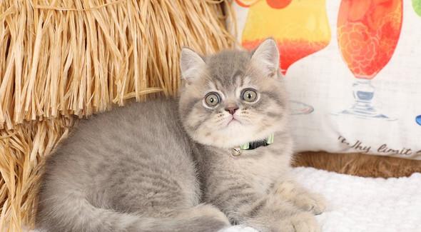 Exotic Shorthair Kitten.jpg