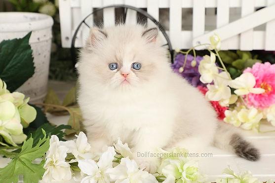 Himalayan Kitten.jpg