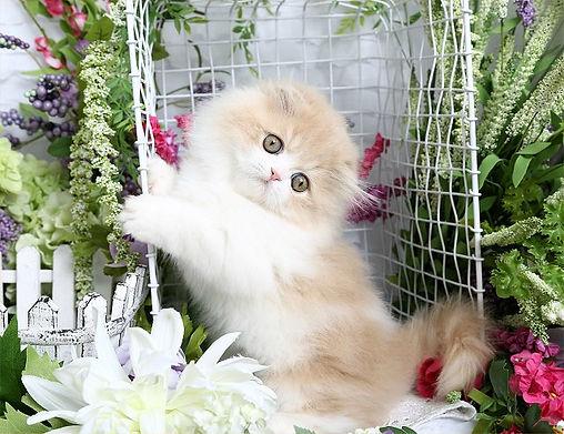 Doll Face Kitten.jpg