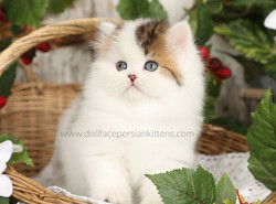 Golden & High White Patchwork Persian Ki