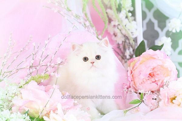 Ivory Persian Kitten