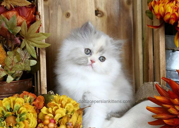 Lilac Smoke Calico Persian Kitten