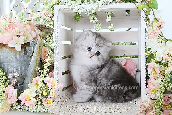 Shaded Silver Persian Kitten