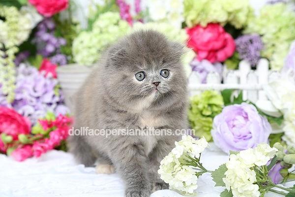 Blue Cream Lop-Eared Persian Kitten