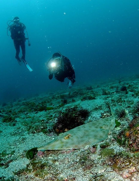 初島の海中でサカタザメを観るダイバー.jpg