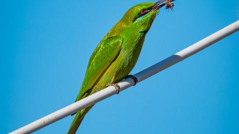 Green Bee-Eater.jpg